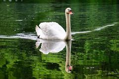 Swan ((Jessica)) Tags: reflection green bird nature water boston spring swan wildlife massachusetts newengland pw woburn hornpond wildlifewednesday