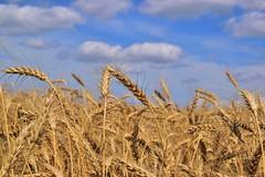 Kansas Wheat (slammerking) Tags: clouds golden farm wheat harvest bluesky ag kansas agriculture gain