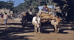 Mandalay 1987 - Harvest transport (sharko333) Tags: tavel reise voyage asia asien asie myanmar burma birma mandalay people man street cart ox work outdoor harvest rare analog 1987