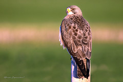 Swainsons Hawk (Boreal Impressions) Tags: brown white bird argentine animal rodent wings outdoor hawk gray flight raptor perch elegant soar hunt birdofprey swainsonshawk buteoswainsoni fencepost greatplains opencountry accipitridae swainsons accipitriformes narrowwings longestmigration
