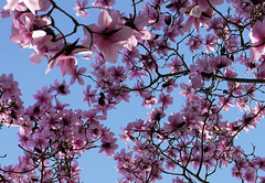 Magnolia (Louise and Colin) Tags: uk pink england english beautiful garden pretty westsussex britain bluesky british lovely joyful nationaltrust springflowers magnolias masses delightful nymans highweald overabundance handcross treemagnolias nymansmagnolias