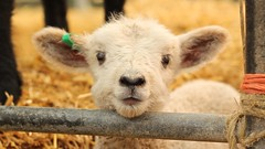 CUTE LAMB (Su--May) Tags: animals creatures rarebreedscentrewoodchurchashfordkent