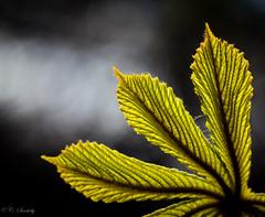 illuminated (CecilieSonstebyPhotography) Tags: light macro green leaves oslo closeup canon leaf outdoor ngc npc botanicalgarden canoneos botaniskhage ef100mm macro100mm canon60d canoneos60d