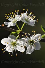 BLACKTHORN (Prunus spinosa) D1204166A (colin varndell) Tags: flower tree spring blossom shrub deciduous blackthorn prunus sloe rosaceae spinosa varndell