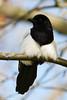 Magpie / Ekster (Pica pica) (Levina de Ruijter) Tags: amsterdam birds animals canon nederland thenetherlands vogels canon5d magpie dieren ekster flevopark kenko14xtc canonef300mmf4lisusm