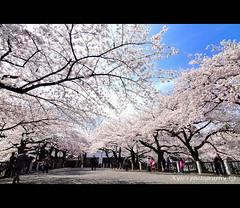 () Tags: park travel pink flowers trees light sky white plant flower macro tree castle nature japan garden cherry tokyo spring blossom blossoms olympus  cherryblossom  sakura cherryblossoms  zuiko cherrytree e30 cherrytrees 1122   cherryblossomfestival
