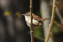 Carolina-Wren-IMG_5163-crop (mandovinnie) Tags: carolina wren wilder