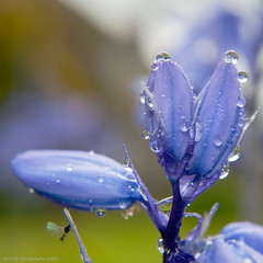 bluebell in the Rain (AGB Photography) Tags: nikon d5000 agbphotography