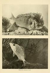 Anglų lietuvių žodynas. Žodis stenotomus chrysops reiškia <li>stenotomus chrysops</li> lietuviškai.