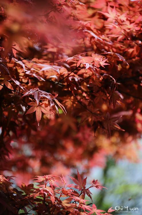 竹子湖紅楓21.jpg