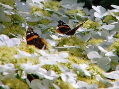 Red Admirals (Maia C) Tags: flower butterfly redadmiral comment climbinghydrangea maiac sonydschx1