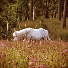 White horse (Nin) Tags: flowers summer horse nature sweden meadow