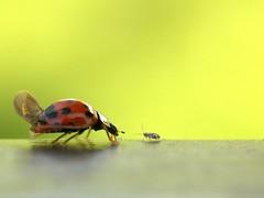 Dinner date (Mrs S.A) Tags: red macro green nature bug insect wings meeting ladybird spotted greenfly gamewinner nikond40 flickrchallengegroup flickrchallengewinner friendlychallenges thechallengefactory bestcapturesaoi gamex2winner mygearandme mygearandmepremium pregamewinner lightwriterscc