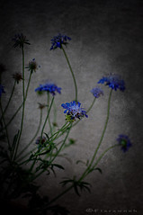 The Blues (Faddoush) Tags: life flowers blue still nikon blues
