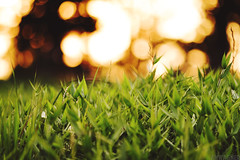 High Grass at Sunset [06.28.12] (Andrew H Wagner   AHWagner Photo) Tags: light plant green nature grass canon eos dof bokeh 7d f2 135mm 135l f2l