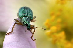 Green Weevil (Muzby1801) Tags: above family blue autumn summer hairy baby colour detail macro green eye nature beautiful up canon insect lens creativity spider photo interestingness spring fight amazing nice interesting eyes funny close wasp dragonfly wildlife ant extreme watch great bugs 100mm best frog sharp bee bbc tiny crop times 28 manual common popular lifesize damselfly armour emerald mimic antenna hoverfly sensor damselflies hairs robber 4x stacker mpe 65mm 3x springwatch 5x photostack zerene 60d countryfile macrolife