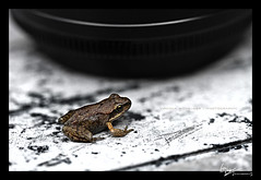Frog (Virginia Wilhelmer) Tags: light shadow white black color macro nature animal canon dark austria bright frog 7d tyrol