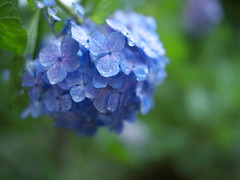 Hydrangea in the rain (myu-myu) Tags: flower nature rain japan panasonic hydrangea   nokton25mmf095 dmcg3