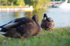 Hi there! (daniel.lih.photography) Tags: seattle summer portrait blur cute bird uw nature grass animal june 50mm bay duck washington university dof outdoor ducks 2012 montlake portagebay daniellih