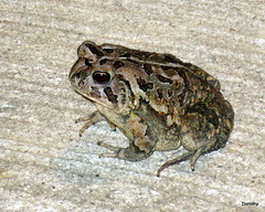 Toad on my Doorstep (Jersey Camera) Tags: toad