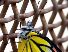 Macro shot of butterfly (Sribha Jain) Tags: red white macro beautiful beauty yellow butterfly fly eyes bangalore bannerghattanationalpark bannerghattabutterflypark
