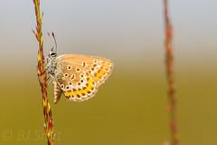 Silver-studded Blue / heideblauwtje  (Plebejus argus) (BJSmit) Tags: butterfly insect 7d riel insekt brabant vlinder lycaenidae plebejusargus silverstuddedblue plebeiusargus 100l canon100mm plebejus heideblauwtje eos7d canon7d regteheide canonef100mmf28lmacroisusm canon100mml regteheideenrielslaag