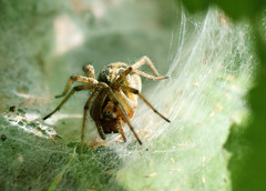 Grass Funnel Weaver spider I think (riggy-riggo) Tags: macro nature spider kent wildlife arachnid grassland grassfunnelspider