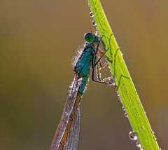 Early Damsel (Sander Meertins) Tags: macro ex nature female canon photography sigma os zoetermeer damselfly f28 waterjuffer dg sander excellence coenagrionidae 150mm vrouwelijk hsm 60d specinsect forestwander meertins