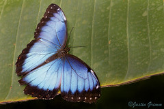 Blue Morpho / Morpho Peleides 295-302 (Justin Grimm) Tags: blue macro green nature glass butterfly insect moss focus wing peacock 100mm stack calico morpho papilo