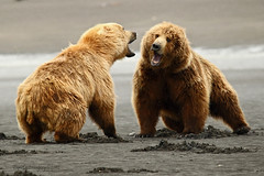 Non contact sport (Ross Forsyth - tigerfastimagery) Tags: wild nature alaska wildlife free grizzly mammals grizz grizzlybear katmai katmainationalpark coastalbrownbear hallobay