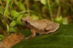 Spring Peeper (Hyla crucifer) (DrStephenD) Tags: animals wv frogs amphibians treefrogs peepers hyla ksf pentaxk7 taxonomy:binomial=hylacrucifer