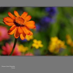 Flowers Colors Fireworks (NathalieSt) Tags: flowers orange flower macro fleur yellow fleurs jaune petals bokeh petal pétale