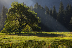 Cook's Meadow Elm Tree, Yosemite Valley (Charlotte Hamilton Gibb) Tags: california tree sunrise landscape unitedstates meadow yosemite yosemitenationalpark elm cooksmeadow charlottegibbphotography