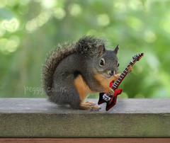 Rock n Roll (Peggy Collins) Tags: squirrel squirrels guitar britishcolumbia rocknroll guitarist sunshinecoast electricguitar redguitar douglassquirrel funnysquirrel peggycollins squirrelplayingguitar