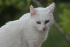 Gato Branco (Esli LeaL) Tags: pet cat gato whitecat miau gatinho gatobranco