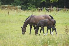 tranquility! (RCB4J) Tags: horses scotland countryside pasture ayrshire irvinevalley sonyafdt18250mmf3563 sonyslta77v ronniebarron rcb4j