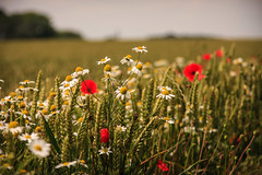 Summer Field (Shotslot) Tags: flowers red summer fleur daisies champs culture poppies wildflowers marguerite prairie coquelicot bl camomille eccleshall crale adventice matricaire