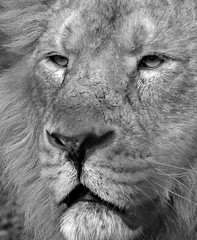 Noble (Grains of Rice) Tags: blackandwhite bw zoo lion chester chesterzoo flickrbigcats