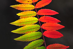 Sumac Rainbow (NaturalLight) Tags: autumn sumac kansas wichita smoothsumac chisholmcreekpark