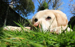 Just labradorin' (music_man800) Tags: life blue summer sky dog pet sun cute green eye love grass yellow canon garden relax nose golden sweet sleep adorable ears canine bathe sweetie chill sunbathe chillax ladrador 700d