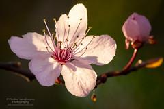Spring time (.Markus Landsmann - markuslandsmann.zenfolio.com) Tags: flower macro nature spring natur blumen makro frhling markuslandsmannzenfoliocom markuslandsmann markuslandsmannphotography