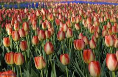 Tulips. (pfw.schellingerhout) Tags: wassenaar bloemen tulpen