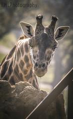 Longleat Giraffe (KimLee97) Tags: animals zoo monkey african lion safari giraffe mane longleatsafaripark