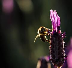 back lit honey bee sucking pollen from a lavender~~~ late in the evening~ (island deborah- nature website deborahfreeman.ca- ) Tags: feeding lavender bee honey