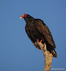 Everglades National Park (srqjetstream) Tags: bird florida wildlife evergladesnationalpark vulture