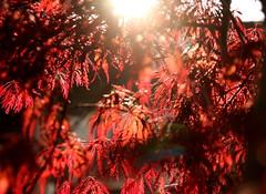 Voir la vie en rouge (Et si, et si ...) Tags: fleurs rouge soleil lumire printemps contrejour
