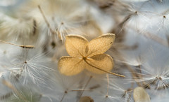 Carried Away (Captured Heart) Tags: dandelion wishes dandelionseeds