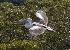 Pelican in flight (Merrillie) Tags: pelicans nature water birds animals fauna flying movement nikon waterfront wildlife flight australia photograph woywoy d5500 nswcentralcoastnsw centralcoastnsw