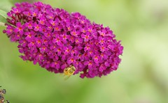 Honey Bee (Joe Son Nguyen) Tags: garden botanical san diego bee honey