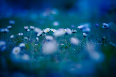 Magic Happens (icemanphotos) Tags: flowers blue sunset twilight fresh daisy glowing